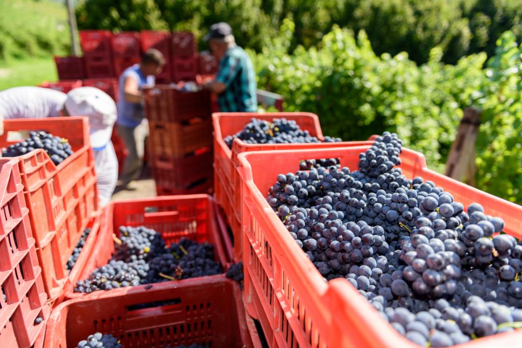 La Spinetta, vingård, skörd vindruvor